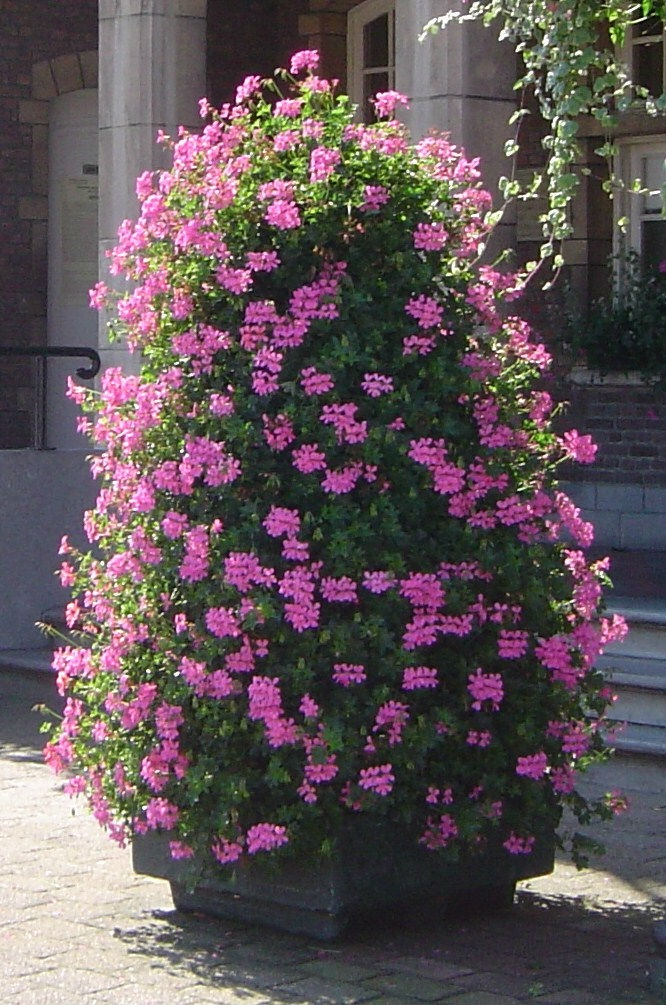 Geranium Pillar Type Export Village Sensation