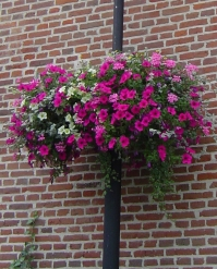Hanging Basket type Lantana
